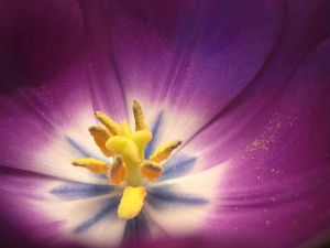 A_lovely_tulip_from_Paloma_3393842369_o-2.jpg