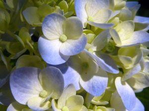 Blue_Hydrangea_4034313706_o.jpg