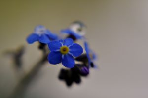 Forget_Me_Not-_Raindrop_5570995012_o.jpg