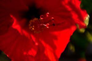 Hibiscus_4751178742_o.jpg