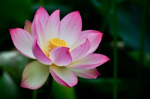 Lotus_Flower_4810780407_o.jpg