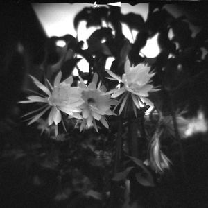 Night_Blooming_Cereus_4025059888_o.jpg