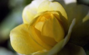 Yellow_Rose_4641473362_o.jpg