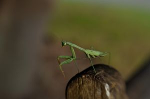 Praying Mantis_5177445635_o.jpg