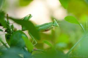 Praying Mantis_6051307964_o.jpg