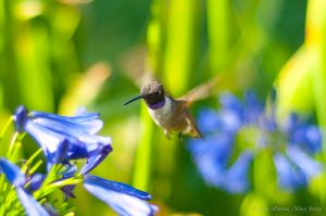 Hummingbird with Royal Purple_6067986707_o.jpg