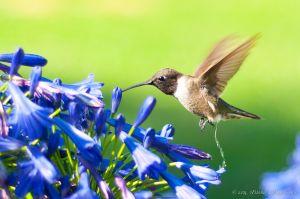 Nature_Calls!_Hummingbird_making_water_)_6068534180_o.jpg