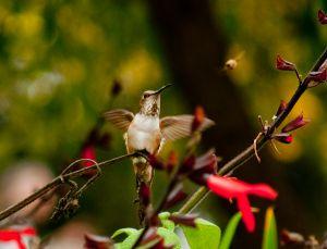 c10-Hummingbird_4380829203_o.jpg