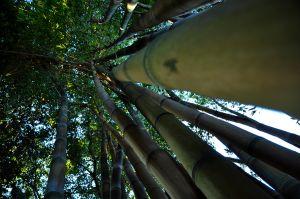 c26-Bamboo_5240316583_o.jpg