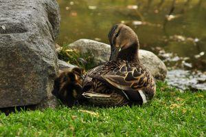 c91-Duck_Family_4491412089_o.jpg